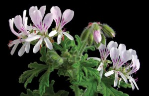 Scented geranium Photo by Todd-Boland