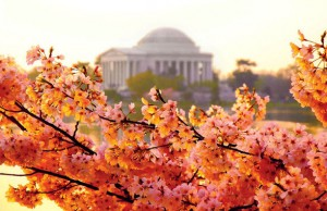 Jefferson Memorial Cherry Blossoms Photo by Steve Piacente