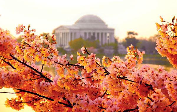 Jefferson Memorial Cherry Blossoms Photo by Steve Piacente