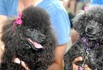 Pets-DC's 13th Annual Pride of Pets Dog Show #34