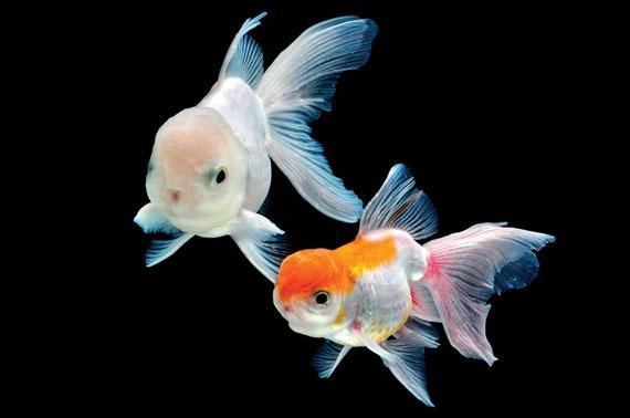 Fancy gold fish Photo by kemmud sudsakorn