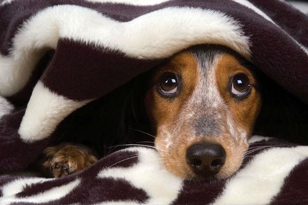 Dog hiding -- Photo by Shevs