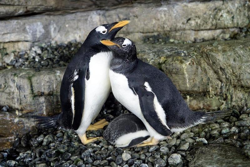 lesbian, gay, penguin, adopt, egg